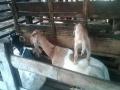 hewan aqiqah jakarta pusat